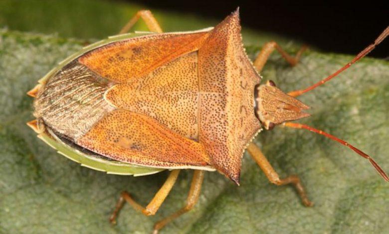 DICLFU 1456240142 1741859996 780x470 - Percevejo barriga-verde (<i>Dichelops ssp.</i>) na cultura do milho safrinha