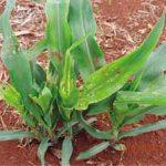 image 27 150x150 - Percevejo barriga-verde (<i>Dichelops ssp.</i>) na cultura do milho safrinha