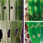 image 28 150x150 - Percevejo barriga-verde (<i>Dichelops ssp.</i>) na cultura do milho safrinha