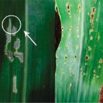 image 29 150x150 - Percevejo barriga-verde (<i>Dichelops ssp.</i>) na cultura do milho safrinha