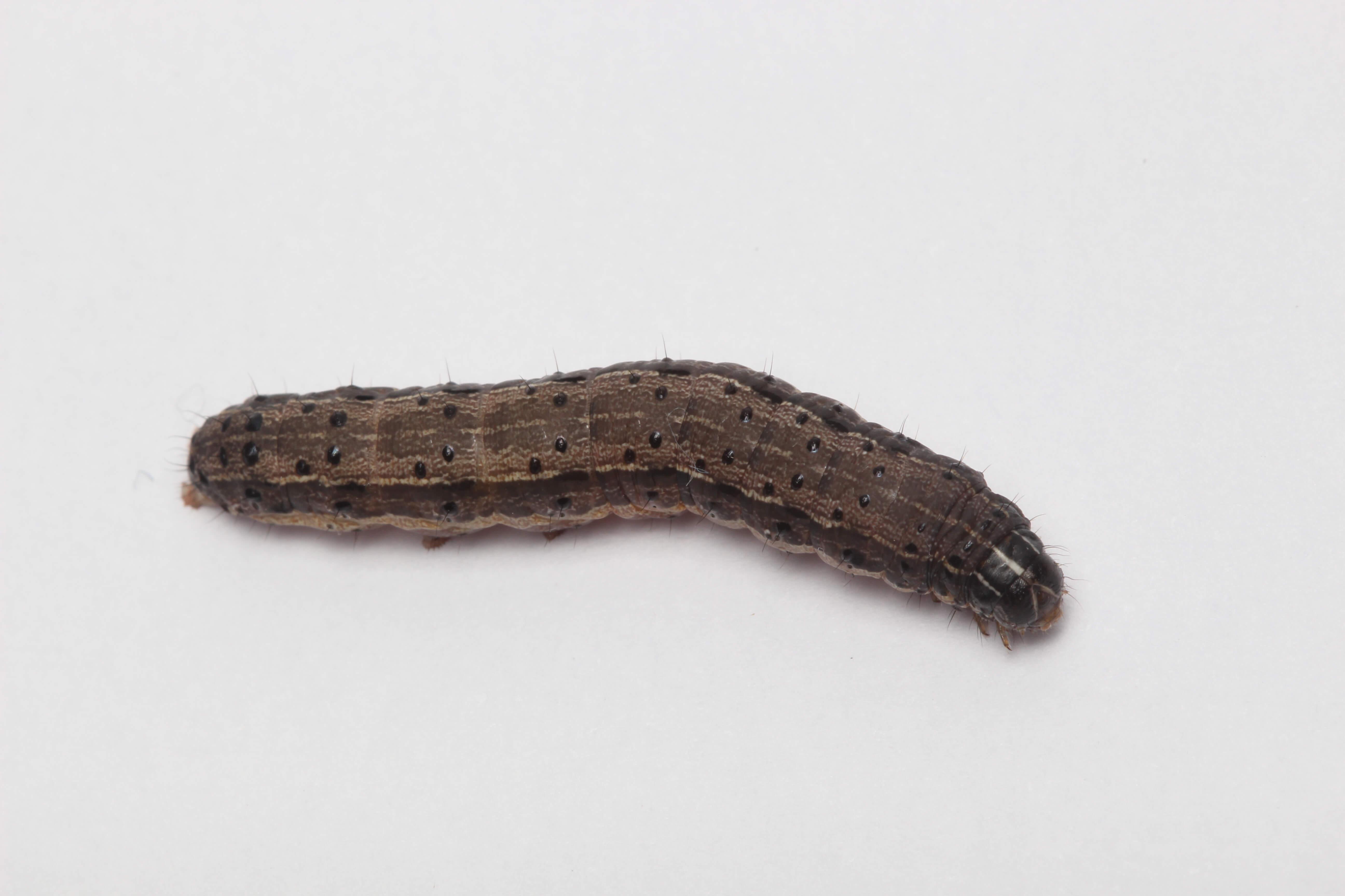 S frugiperda 13 - Pragas do milho: Spodoptera frugiperda