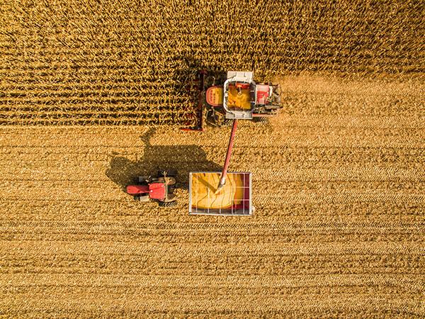 thumb colheita - Colheita do milho no momento correto